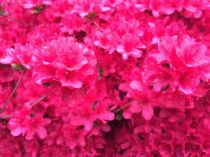 Azalea* japonica \'Conny\'