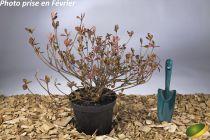 Azalea* japonica \'florida\'