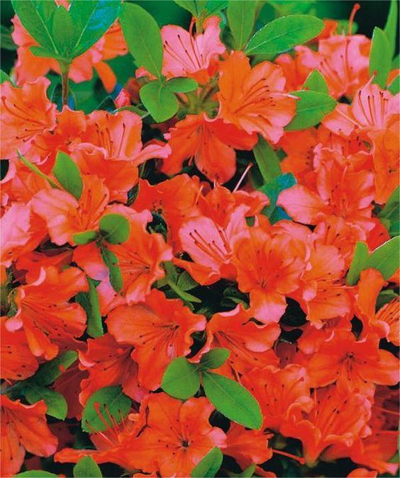 Azalea* japonica \'Geisha Orange\'