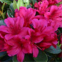 Azalea* japonica \'Geisha Red\'