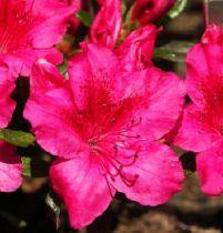 Azalea* japonica \'Georges Arends\'