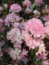 Azalea* japonica \'Gilbert Mullier\' rose
