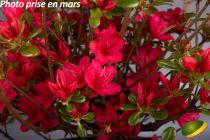 Azalea* japonica \'Hino Crimson\'