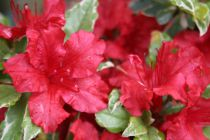 Azalea* japonica \'Hot Shot\'