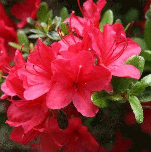 Azalea* japonica \'Moederkensdag\'