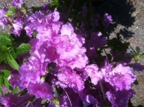 Azalea* japonica \'Multiflora Purper\'