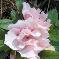 Azalea* japonica \'Nancy of Robin Hill\'