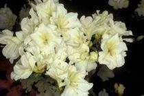 Azalea* japonica \'Olga Niblett\'