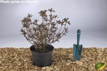 Azalea* japonica \'Orange Beauty\'