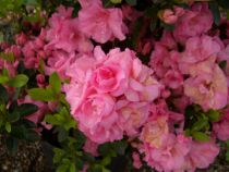 Azalea* japonica \'Rosebud\'