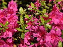 Azalea* japonica \'Royal Pink\'