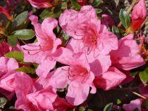 Azalea* japonica \'roza\'