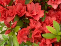 Azalea* japonica \'Santa Maria\'