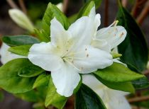 Azalea* japonica \'Schneewittchen\'