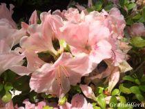 Azalea* japonica \'Sir Robert\'