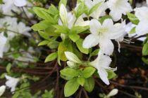 Azalea* japonica \'White Lady\'