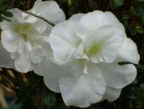 Azalea* japonica \'White Rosebud\'