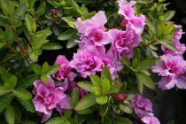 Azalea* japonica Broceliande® \'Perceval\'
