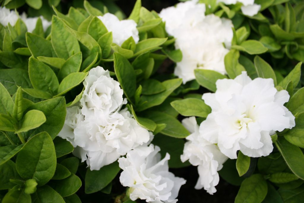 Azalea* japonica Broceliande® \'Viviane\'