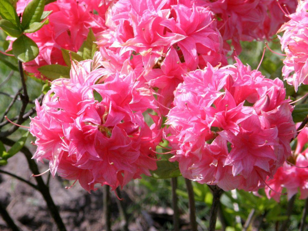 Azalea* mollis Homebush rose