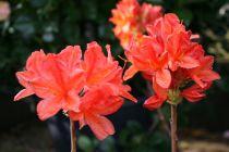 Azalea* x knap H.-E. \'Koster\'s Brilliant Red\'