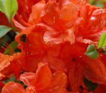Azalea* x knap Hill-Exbury \'Hotspur Red\'