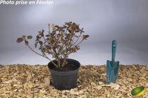 Azalea japonica \'Adagio\'