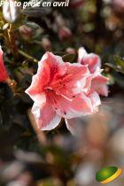Azalea japonica \'Ben Morrison\'