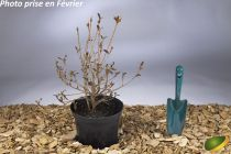 Azalea japonica \'Blue Danube\'