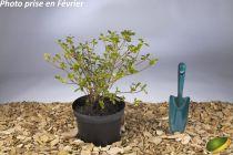 Azalea japonica \'Dorothy Hayden\'