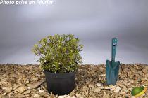 Azalea japonica \'Gumpo White\'
