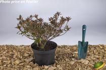 Azalea japonica \'Macrostemon\'