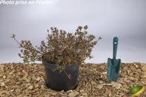 Azalea japonica \'Pink Cascade\'