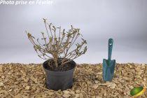 Azalea japonica \'Purple Splendeur\'