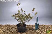 Azalea japonica \'Rosa King\'