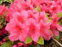 Azalea japonica \'Vuyk\'s RosyRed\'