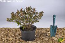 Azalea japonica Lily Marleen