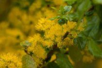 Azara dentata, arbuste persistant au feuillage vert et aux fleurs en pompons jaune d\'or au printemps.