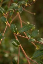 Azara microphylla, arbuste persistant aux petites feuilles vert foncé et aux petites fleurs en grappes jaunes parfumées.