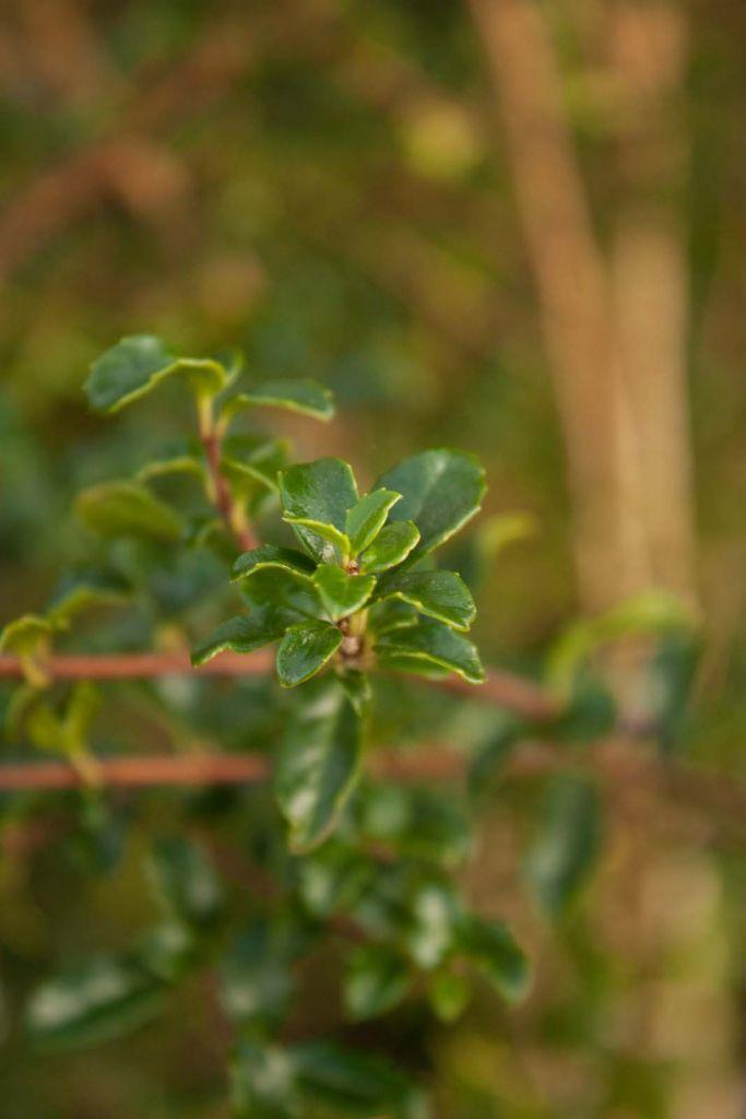 Azara microphylla