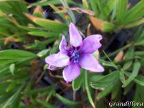 Babiana stricta \'Kew hybrids\'