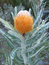 Banksia prionotes \'Dwarf\'