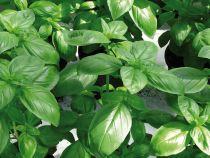 Basilic grand vert