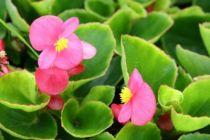 Begonia olympia rose