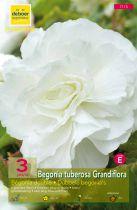 Begonias doubles blancs