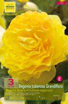 Begonias doubles jaunes
