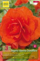 Begonias doubles oranges