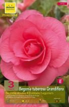 Begonias doubles roses