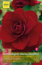 Begonias doubles rouges