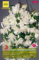 Begonias pendulas blancs